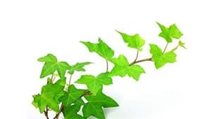 herbata_drzewko_olejek